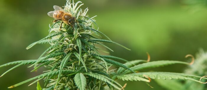 cannabis and bees